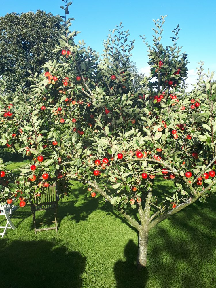 Apple tree at Eldroth Cottage