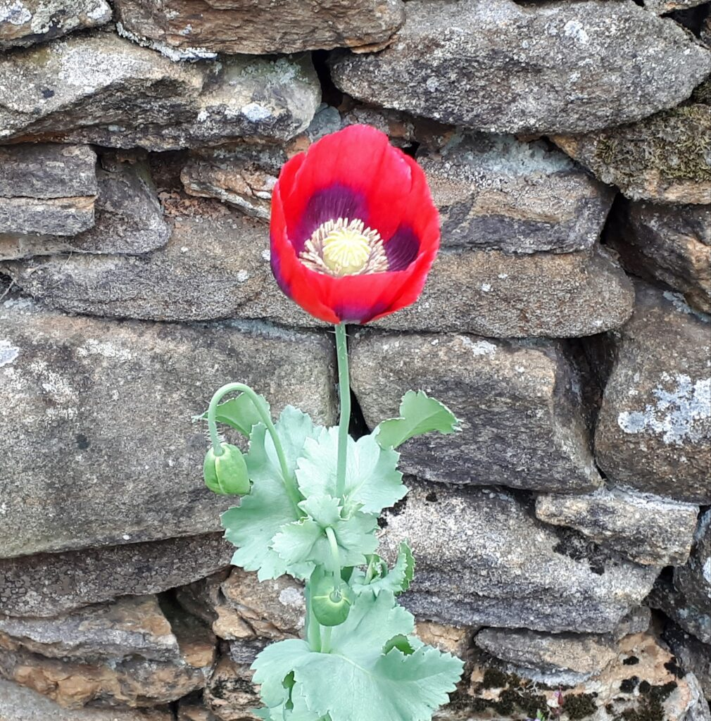 Poppy at Eldroth House