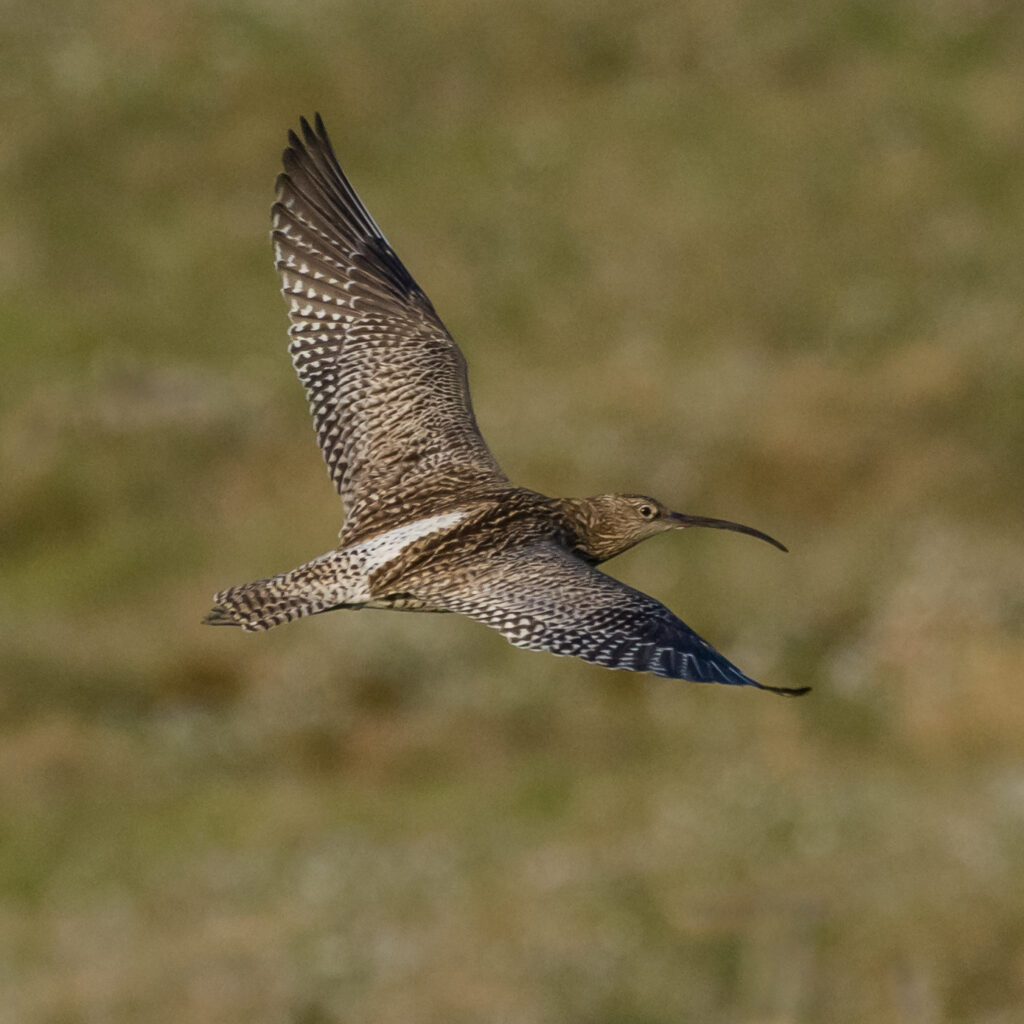Photo of curlew in flight